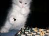 chess kitten