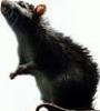 rat_mistle: cate