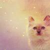 Cats: ragdoll_kitten