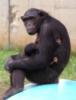 шимпанза