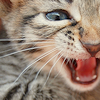 cat || RAWR