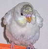 Puffy Budgie