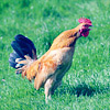 Animals - rooster