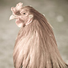 Animals - rooster rufus