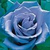 softbluebuddy: Baby Blue Rose
