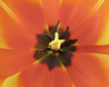 Тюльпан мартовский