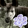 Okapi Rose