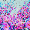 drynwhyl: cherry blossoms
