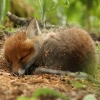 montuos: sleeping fox kit