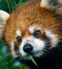 red panda bamboo mouth