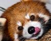 red panda nom