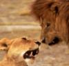 двоє - лев і левиця