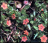 Tiny Pimpernel