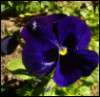giant blue pansy