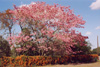 Des: Tabebuia pink