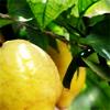 Stock-Lemons!