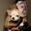 monkey loves chihuahua