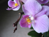 flower: orchid