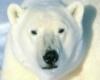медведь, белый медведь
