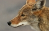 nyc_coyote userpic