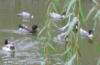 Ducks with willow