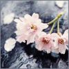 skieswideopen: cherry blossoms