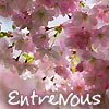 EntreNous cherry blossoms