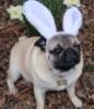 Easter Puggie