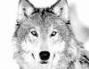 mnlonewolf userpic