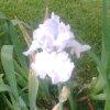 Casandra Seid: white iris
