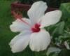 hibiscus_cus userpic