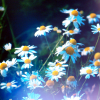 Frust-sheep: nature: flowers-daisies