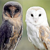 (melanistic) Barn Owl