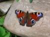 Бабочка у нас на даче.