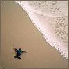 misc - baby sea turtle