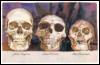 homo sapiens erectus floresiensis