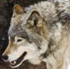 leonidushkaa: Волк хищник грусть