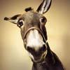 Mific: Baffled donkey