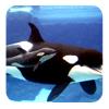 Orca & baby