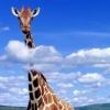 Жираф большой...