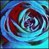 blue rose petals