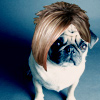 Pug in wig