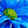 DaiseeChain/Blue Daisy