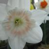 elspeth: Photo: Cockatiel Daffodil