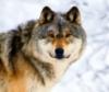 wolfen_child userpic
