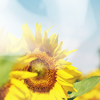 Stock-Summer-Sunflower