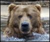 Bear, water
