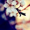 indigo_dawn: sakura