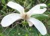 Вика: цветок