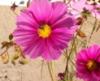 zizi_west: Pink Cosmos